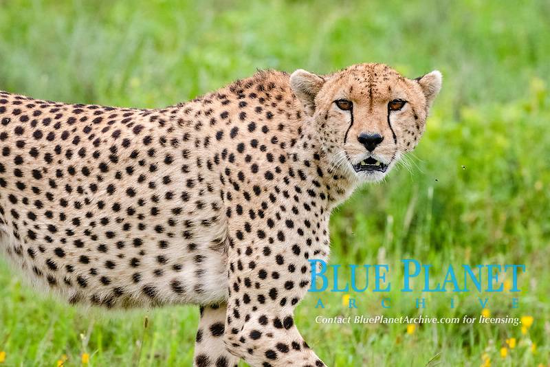 cheetah (Acinonyx jubatus), Ndutu, Ngorongoro Conservation Area, Serengeti, Tanzania, Africa