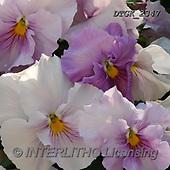 Gisela, FLOWERS, BLUMEN, FLORES, photos+++++,DTGK2347,#F#, EVERYDAY