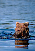609682165v a wild adult brown bear ursus arctos floats down the brooks river looking for salmon near brooks falls and the lodge in katmai national park alaska