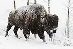 A bison walks through a spring snowstorm in Yellowstone National Park, Wyoming.