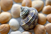 Turbo seashell and beach sand.