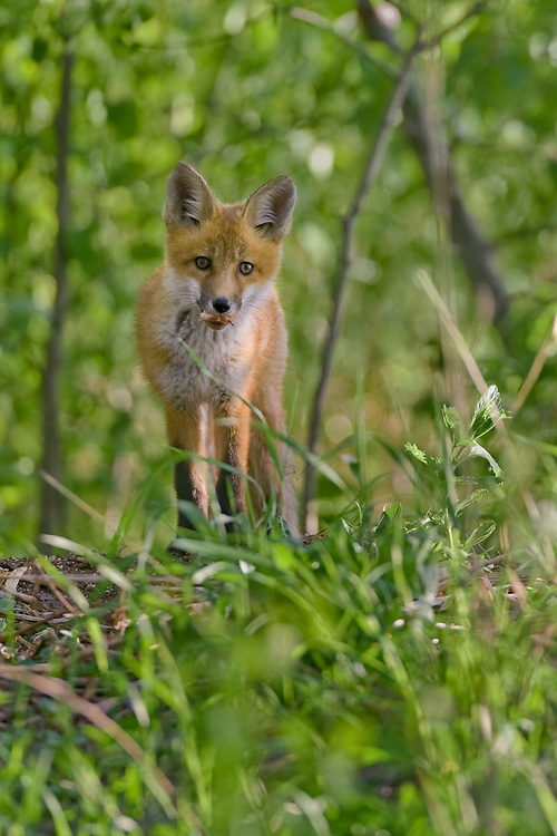 Young Red Fox kit watching from a small hill