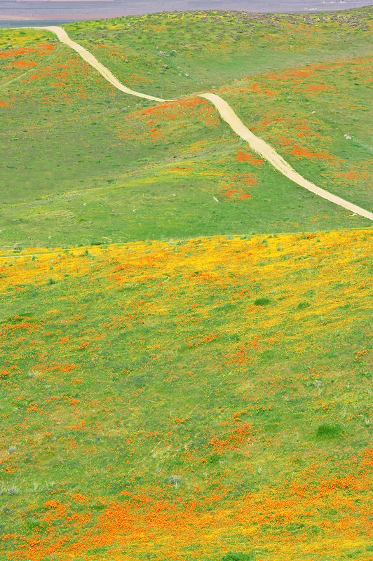 California poppies (Eshscholtzia californica) Goldenfields (Lasthenia californica) and road in Antelope Valley Poppy Preserve