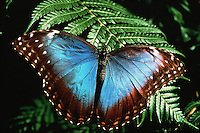 Portrait of a Blue Morpho butterfly (Morpho mamnon)>.