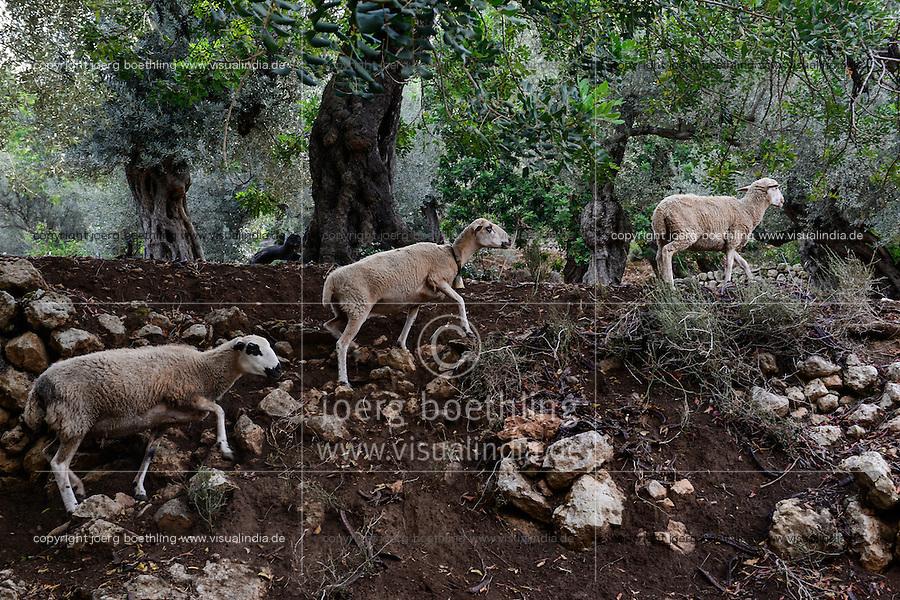 SPAIN Mallorca, Soller, farming in the mountains, olive trees / SPANIEN Mallorca, Soller, Landwirtschaft in den Bergen, Oliven