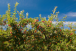 Hood River Apple Trees, Oregon