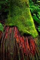 Exposed roots of Coconut Palm tree. Hawaii Tropical Botanical Gardens, The Big Island, Hawaii