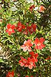 MIMULUS 'VALENTINE', MONKEY FLOWER