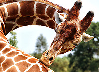 Yorkshire Wildlife Park, commonly referred to as YWP, is a wildlife park located in Doncaster, South Yorkshire, in England. It is a member of the British and Irish Association of Zoos and Aquariums (BIAZA) and the European Association of Zoos and Aquaria (EAZA). Monday August 10th 2020<br /> <br /> Photo by Keith Mayhew