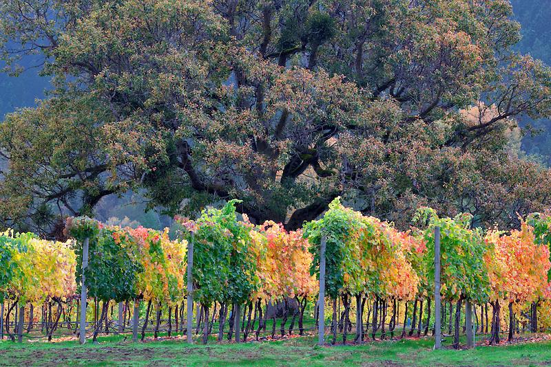 Vineyard and oak tree in fall color. Near Applegate, Oregon