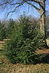 15210-CD Eastern Hemlock, Tsuga canadensis, Pennsylvania State Tree, in March at US National Arboretum, Washington DC USA
