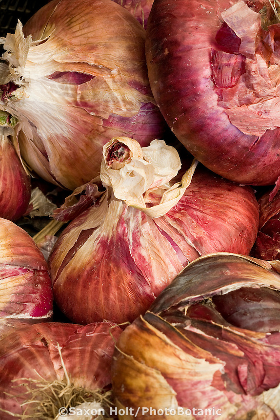 Sweet red onions at local farm stand