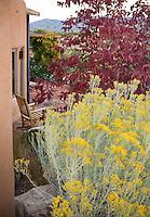 Yellow flowering native shrub, Chamisa or Rabbitbrush (Chrysothamnus nauseosus) and ash tree, Fraxinus americana 'Autumn Purple' in Xeriscape garden, Santa Fe, New Mexico