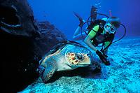diver and loggerhead sea turtle, Caretta caretta, Texas Flower Gardens National Marine Sanctuary, Gulf of Mexico, Atlantic