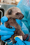 3-4 day old Raccoon is under the care of the Birdsey Cape Wildlife Center in Barnstable, Cape Cod, Massachusetts, close-up shot.  At this young age the racoons eyes are still closed.