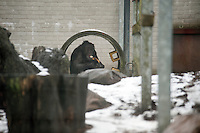 Chimp, Ronnie hides from the snow at the Ape and Monkey Santuary near Coelbren in the Swansea Valley in South Wales.
