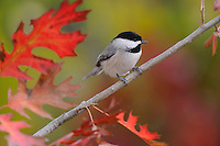 Carolina Chickadee, (Poecile carolinensis), adult on Texas Red Oak (Quercus Texana), New Braunfels, San Antonio, Hill Country, Central Texas, USA