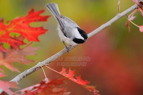 Carolina Chickadee, (Poecile carolinensis), adult perched on fall color branch of Texas Red Oak (Quercus buckleyi), New Braunfels, Hill Country, Central Texas, USA
