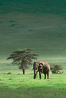 62850701v1 a wild african elephant loxodonta africana stands near an acacia tree on the open veldt in ngorogoro crater national park in tanzania in east africa