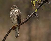 Copper's Hawk juvenile just before dusk, late fall in near freezing rain..