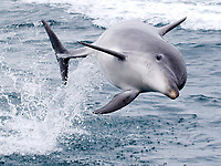 BNPS.co.uk (01202 558833)<br /> Pic: TomBrereton/BNPS<br /> <br /> Pictured: One of the dolphins leaps from the water<br /> <br /> Dolphins from one of the three colonies known to inhabit UK waters have become the first to swim over 800 miles to join another group, marine scientists have revealed.<br /> <br /> The two bottlenose dolphins are known to have left the Moray Firth in Scotland in 2018 and have now joined the group that inhabit the sea off the south west coast.