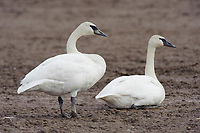 Pair of adult Trumpeter Swans (Cygnus buccinator) resting in an agricultural field. Skagit County, Washington. April.
