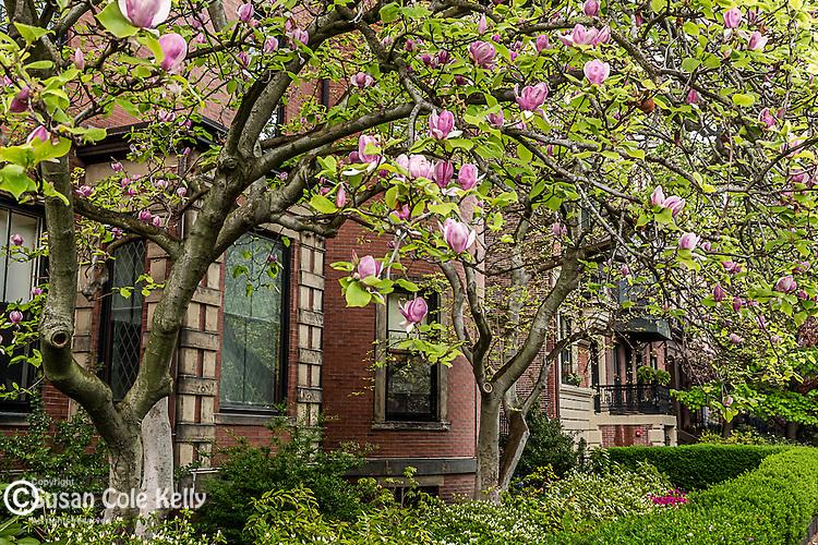 Spring blossoms in the Back Bay neighborhood, Boston, Massachusetts, USA