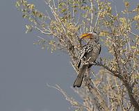 Yellow-billed Hornbill near Namutoni, Etosha