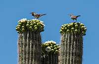 Two Cactus Wrens, Campylorhynchus brunneicapillus, perch on a Saguaro cactus, Carnegiea gigantea, in Saguaro National Park, Arizona