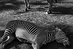 """""""Broken""""<br /> Zebra Enclosure<br /> Louisville Zoo<br /> Louisville, KY<br /> From the """"Captivity"""" series. <br /> © Thierry Gourjon-Bieltvedt"""