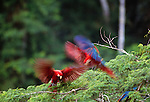 Scarlet & green-winged macaws, Tambopata River region, Peru