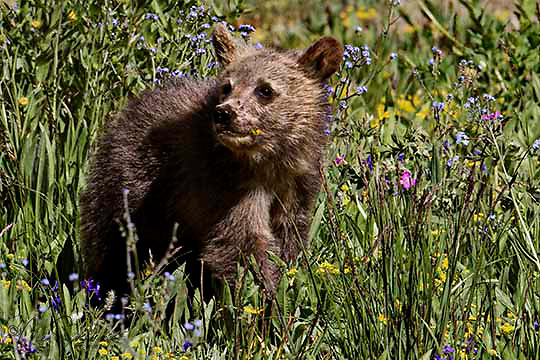 We see only the grizzly (Ursus arctos horribilis) cub and wonderful summer flowers. The cub however, sees food in the grasses and is learning which are good to eat and which are not so good for you! Mount Washburn, Yellowstone.