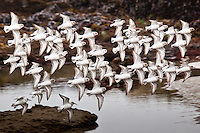 In a tight formation that appears almost wing-tip to wing-tip, sanderlings bank-left in perfect unison.