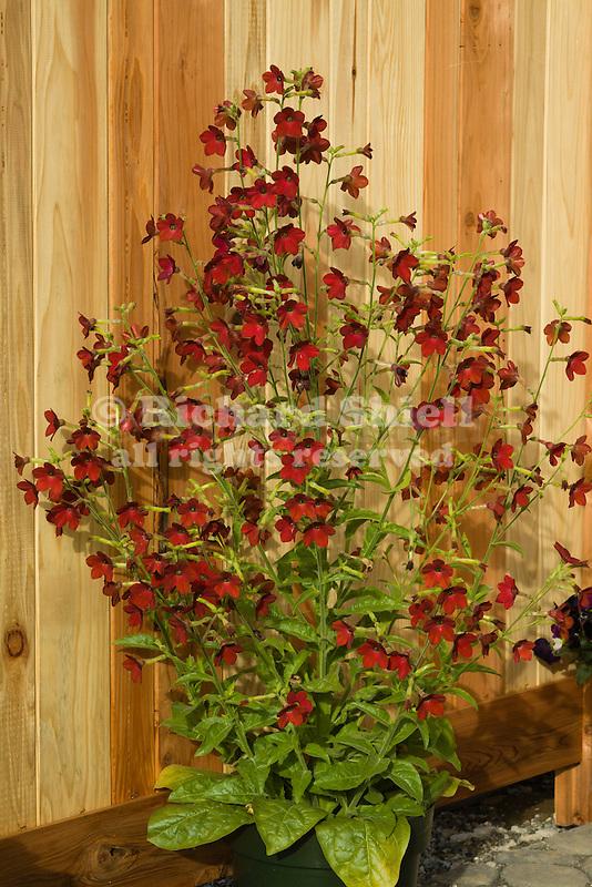 NICOTIANA X SANDERAE 'PERFUME RED', FLOWERING TOBACCO