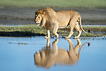 Male African lion (Panthera leo) showing reflection at Big Marsh, near Ndutu, Nogorongoro Conservation Area / Serengeti National Park, Tanzania.