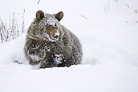 Young Grizzly turning in some deep snow - CA