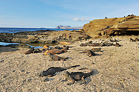 Marine Iguanas (Amblyrhynchus cristatus), group sunning, Puerto Egas Bay, Santiago Island, Galapagos Islands, Ecuador, South America