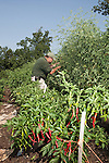 July 29, 2011. Cary, NC.. Tim Morton, the Site Sevices Manager at SAS, tends to the tomato and pepper plants at the company's onsite farm, which provides many of the fresh vegetables for the cafeterias on the SAS campus.. Profile of SAS, a software company that has many amenities for its employees.