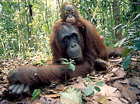 Orangutan, pongo pigmaeus, female with juvenille resting on her back on the floor of the rainforest, orangutans. South-Central Kalimantan Borneo Indonesia Rainforest.