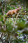 Male fosa (Cryptoprocta ferox) (sometimes incorrectly Fossa) stalking lemurs in forest canopy. Mid-alitude rainforest, Andasibe-Mantadia National Park, eastern Madagascar. IUCN Endangered.