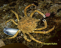 1C34-536z  Common Spider Crab, Libinia emarginata