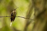 Long-billed Hermit (Phaethornis longirostris) hummingbird, Panama Rainforest Discovery Center, Gamboa, Panama
