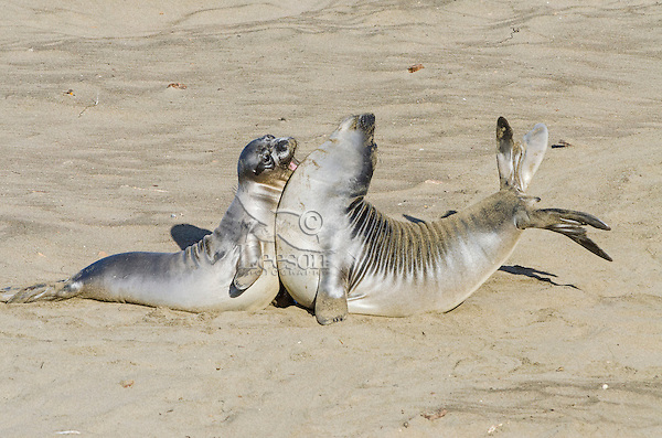 """Northern Elephant Seal (Mirounga angustirostris) pups (often called """"weaners"""") spar--mostly play--like adults.  Central California coast."""