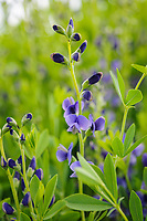 Baptisia australis Dark blue form