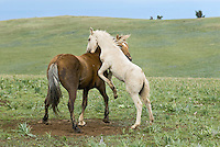 Wild Horse or feral horse (Equus ferus caballus) colt playing with herd stallion.  Western U.S., summer.