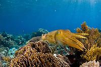 Broadclub cuttlefish, Sepia latimanus, Sabolo Kecil Island, Komodo National Park, Indonesia