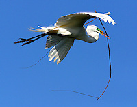 Great egret flying with branch for nest