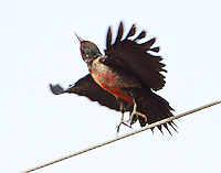 Lewis's woodpecker taking off to chase insect