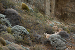 Mountain Lion (Puma concolor) male yawning, Torres del Paine National Park, Patagonia, Chile