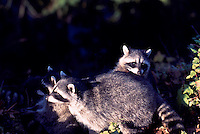 Three Young Wild Raccoons (Procyon lotor) playing